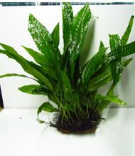 3x2.5 Java Fern Mat Live Freshwater Aquarium Plant