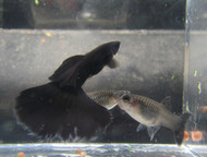 Black Moscow Male Guppy