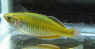Boesemani Rainbow Female