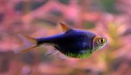 Purple/Black Harlequin Rasbora