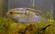 Dwarf Flag Cichlid (Laetacara Curviceps)