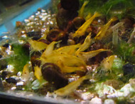 Yellow Shrimp