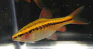 Female Cherry Barb