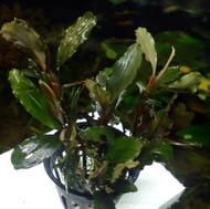 Buccephalandra Theia