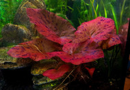 Tiger Lotus Lily Plant