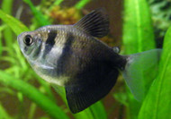 Black Skirt Tetra (Gymnocorymbus sp.)