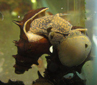 Pagoda Spiky Snail