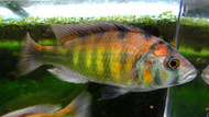 "3-4"" Kyoga Flameback Xystichromis Breeders"