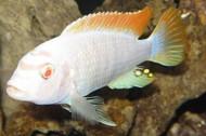 Metriaclima Greshakei Albino Cichlid
