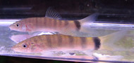Yellow Tail Loach