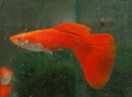 Albino Red Guppy Pair