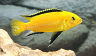 "Electric Yellow Cichlid 4-5"" (Labidochromis caeruleus)"