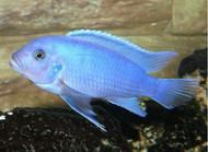 """Cobalt Blue Zebra Cichlid 4-5"""" (Metriaclima callainos)"""