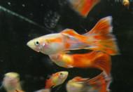 Orange Blast Guppy Male