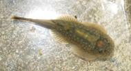 Borneo Sucker Loach