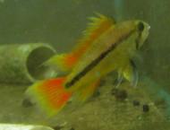 Apistogramma Cacatuoides Orange Dwarf Cichlid Pair