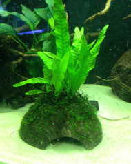 Java Fern / Moss on Coconut Shell