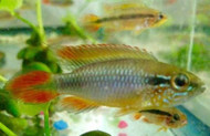 Apistogramma Agassizii Double Red Pair