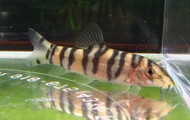Botia Rostrata Seargent Major Loach