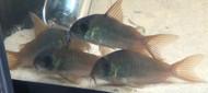 Concolor Corydoras Catfish