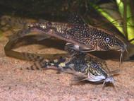 Scleromystax barbatus Corydoras Catfish