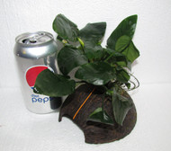 Anubias on Coconut Shell