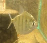 Tiger Silver Dollar