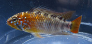 Apistogramma Macmasteri Red Shoulder