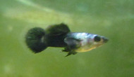 Male Panda Guppy