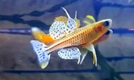 Gertrude's Blue-eye Rainbowfish