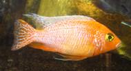 """5"""" Light Orange  Peacock Cichlid"""