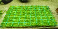 Riccia Fluitans 4x5 Pad