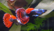 Pair Platinum Mosaic Dumbo Ear Guppy