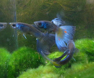 Blue Moscow Guppy Male