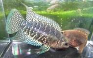 Blue Banded Bushfish