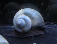 Blue Mystery Snail