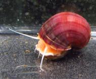 Magenta Mystery Snail