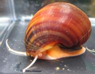 Chestnut Mystery Snail
