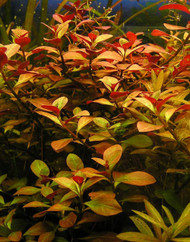 Ludwigia Repens  Bunch