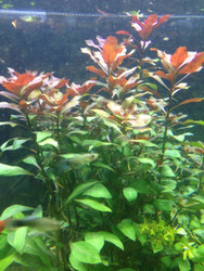 Ludwigia Dark Red - Bunch