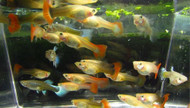 Assorted Female Guppy Guppies