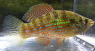 American Flagfish Killifish