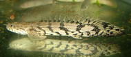 Endlicheri Bichir