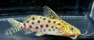 Synodontis Ocellifer Catfish