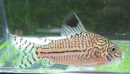 Julii Corydoras Catfish