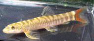 Redtailed Sand Loach