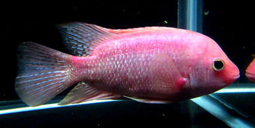 5 6 Purple Rose Queen Cichlid Trin 39 S Tropical Fish