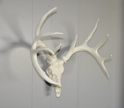 Whitetail Deer European Mount, Reproduction