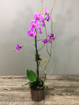 Orchid in Rustic Bark Container - Palace Florists Rockville MD