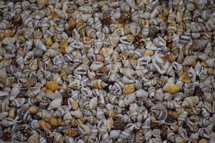 Miniature Natural Shells